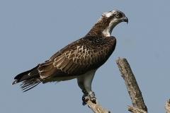 Falco pescatore - Pandion haliaetus