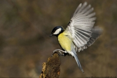 Cinciallegra - Parus major